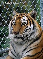 MA40-023z  Bengal Tiger - Panthera tigris