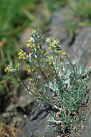 Silber-Edelraute, Silberraute, Echte Edelraute, Artemisia umbelliformis, Artemisia mutellina, White Genepì, Genepì Blanco, Alpine wormwood