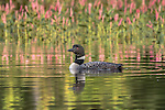 Common loon swimming in a northern Wisconsin lake