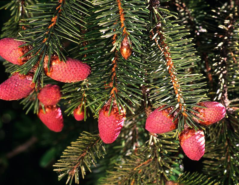 Red Staminate catkins of Sitka Spruce (picea sitchensis). Samuel H. Boardman Park, Oregon.