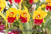 Gisela, FLOWERS, BLUMEN, FLORES, photos+++++,DTGK2560,#f#, EVERYDAY ,orchids