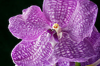 Close up of Vanda Orchid.