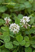 FW06-500z White Clover, Trifolium repens.