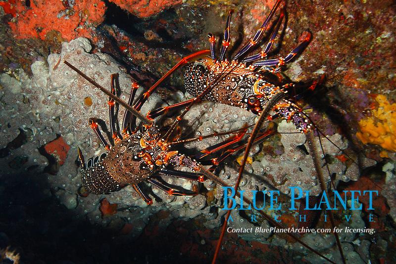 spiny lobster, Panulirus brunneiflagellum, Chichi-jima, Bonin Islands, Ogasawara Islands, Natural World Heritage Site, Tokyo, Japan, Pacific Ocean