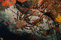 spiny lobster, Panulirus brunneiflagellum, Chichi-jima, Bonin Islands, Ogasawara Islands, Natural World Heritage Site, Tokyo, Japan, Pacific Ocean