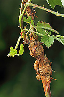 Himbeerruten-Gallmücke, Himbeerrutengallmücke, Himbeergallmücke, Himbeer-Gallmücke, Lasioptera rubi, Raspberry gall midge