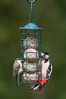 Buntspecht und Kohlmeise an der Vogelfütterung, Fütterung am Meisenknödel, Knödelhalter, Fettfutter, Bunt-Specht, Specht, Spechte, Dendrocopos major, Great Spotted Woodpecker, Woodpeckers. Pic épeiche. Kohl-Meise, Meise, Meisen, Parus major, great tit. Ganzjahresfütterung, Vögel füttern im ganzen Jahr, Vogelfutter der Firma GEVO, Meisen-Knödel-Halter