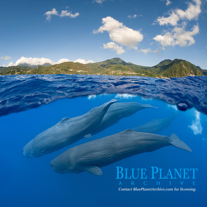 sperm whale, Physeter macrocephalus, pod, diving off the west coast of Dominica Island, near Roseau, Commonwealth of Dominica, Caribbean Sea, Atlantic Ocean (dc)