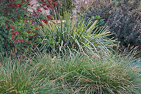 Lomandra hystrix 'Katie Belles' or L. 'Tropic Belles' (tall) with Carex appressa, Tall Sedge and Callistemon 'Slim'; Australian Native Plant Nursery, Ventura, California