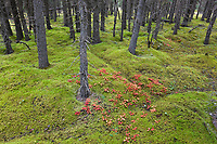 Bearberry, spruce trees and sphagnum moss on the boreal forest floor, Denali National Park, Interior, Alaska.