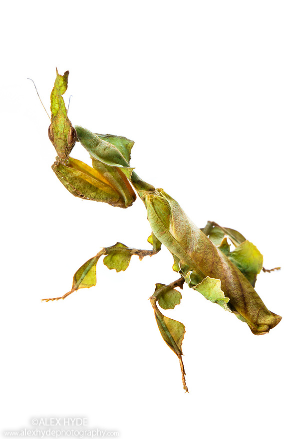 Ghost Mantis female {Phyllocrania paradoxa}, Green Form. Captive, photographed on a white background. Distribution: Africa / Madagascar