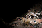 Andean Mountain Cat (Leopardus jacobita) female at night, Abra Granada, Andes, northwestern Argentina