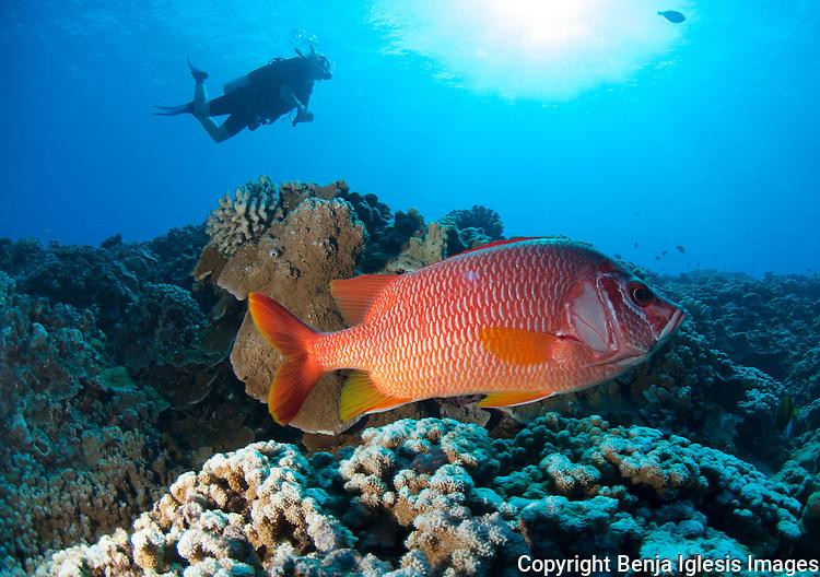 Scubadiver swimming over saber squerrilfish, mid reef molokini Maui Hawaii.