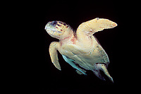 male loggerhead turtle, Caretta caretta, with sharksucker, Echeneis naucrates, Bahamas, Caribbean Sea, Atlantic Ocean
