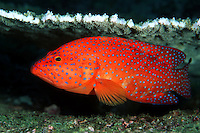 Coral groupers, Cephalopholis miniata, are a common sight on Thailand's reefs and can be recognised by the pattern of bright blue spots on an orange-red background. These spots are smaller than the size of the pupil, and cover the head, body and median fins.