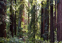 Sunlight through the redwood tree forest, Sequoia sempervirens, in Muir Woods old growth forest