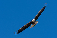 Bald Eagle (not totally mature), Bosque del Apache NWR