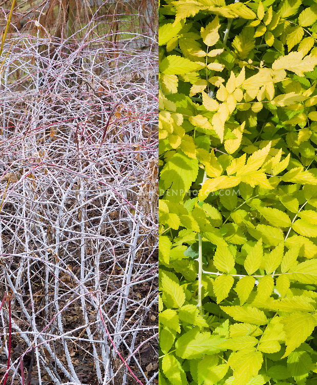 Rubus cockburnianus 'Goldenvale' in two stages, winter white stems and summer yellow foliage, composite picture