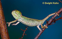 CH47-797z  Veiled Chameleon three month old young, Chamaeleo calyptratus