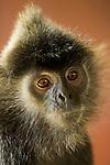 Silvered Leaf Monkey (Trachypithecus cristatus), Sabah, Borneo, Malaysia