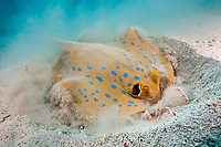 Bluespotted Ribbontail Ray digging for Prey, Taeniura lymma, Elphinstone, Red Sea, Egypt