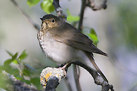 Swainson's Thrush perched on a branch