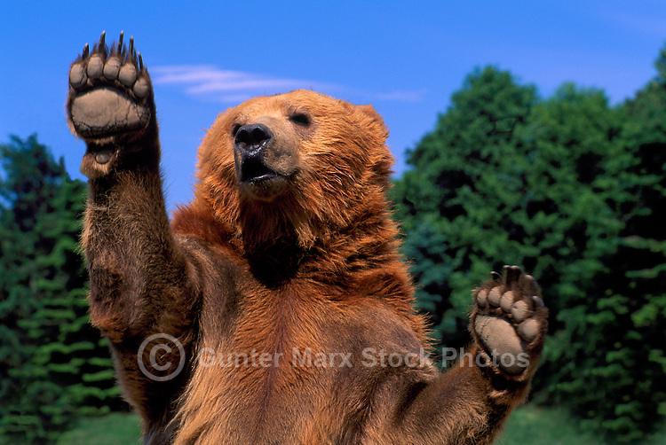 Kodiak Bear aka Alaskan Grizzly Bear and Alaska Brown Bear (Ursus arctos middendorffi) waving Paws - North American Wildlife