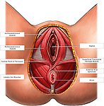 This full color medical exhibit depicts a dissected inferior (bottom) view of the female genitalia. It includes the ischiocavernosus muscle, bulbocavernosus muscle, central point of the perineum,  levator ani muscles,  vagina, superficial transverse perineal muscle, external anal sphincter and anus...