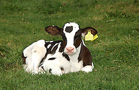 Holstein calf lying in a grass field, Chester,Cheshire.