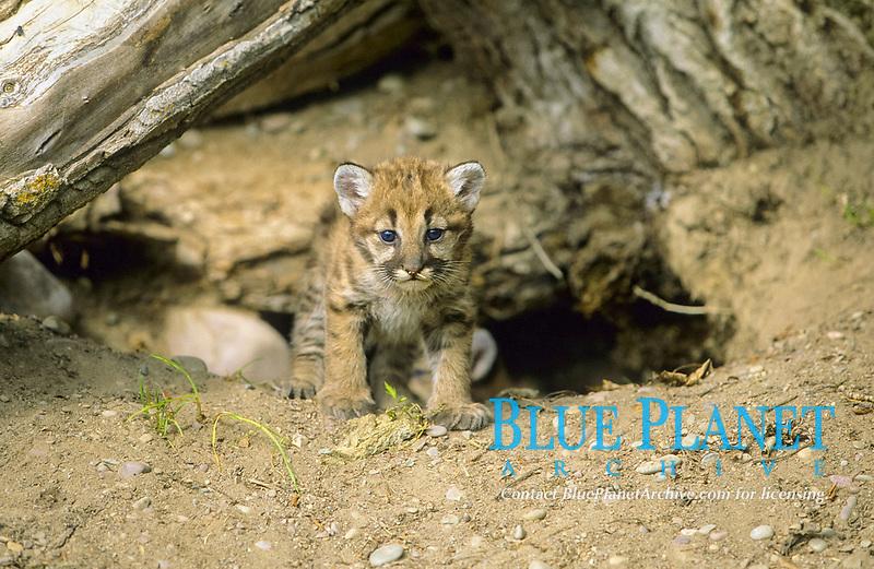 Puma (Puma concolor), cub beside hole