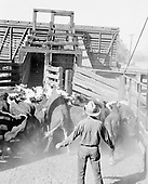 0301-858A Shipping Cattle, Lawrence Stegall Cooke, Arizona, 1960