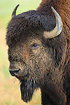 American Bison Bull Portrait