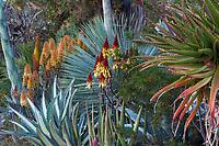 Aloe wickensii (Geelaalwyn) flowering succculent in Gerhard Bock garden with Agave americana mediopicta alba in front of Yucca rostrata'Saphire Skies' and yellow flowering Aloe 'Moonglow'