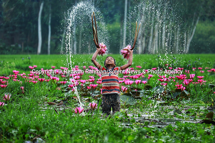 Pictured: Krishna, 9 plays with water lillies as a group of young boys harvest them by boat on a lake in Kalir Bazar, Bangladesh.<br /> <br /> A young boy playfully raises two water lilies in the air and sprays water in the shape of a heart.   The nine year old, Krishna, is part of a group of boys helping his older brother collect the vibrant pink flowers.<br /> <br /> His brother Atik, 20, sailed him and the others to pick the lilies which they will later sell at a local market.   The photographs were taken by Rezwan Rahman, on a lake in Kalir Bazar, Bangladesh.   SEE OUR COPY <br /> <br /> Please byline: Rezwan Rahman/Solent News<br /> <br /> © Reezwan Rahman/Solent News & Photo Agency<br /> UK +44 (0) 2380 458800