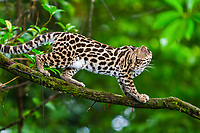 margay, Leopardus wiedii, climbing tree, in rainforest, Arenal, Puntarenas Province, Costa Rica