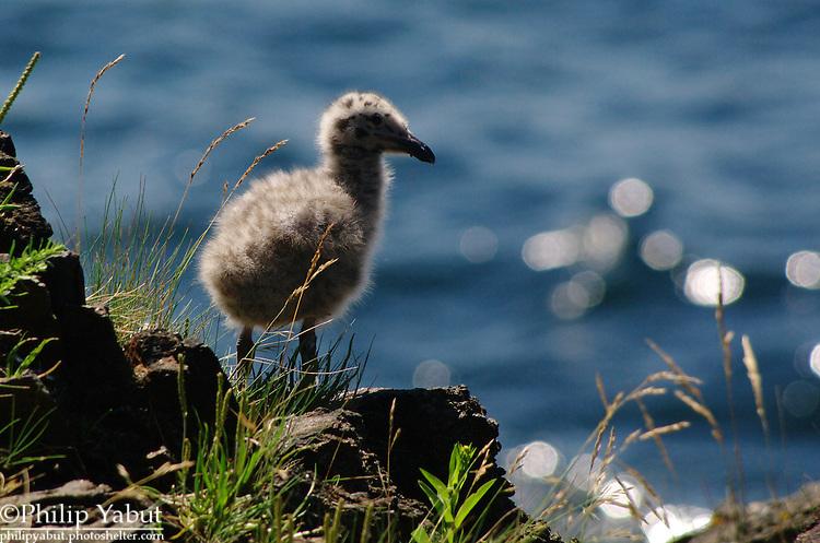 The cliffs of Monhegan Island, Maine, are full of herring gull chicks (Larus smithsonianus) during the summer.