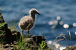 The cliffs of Monhegan Island, Maine, are full of herring gull chicks (Larus smithsonianus) during the summer.