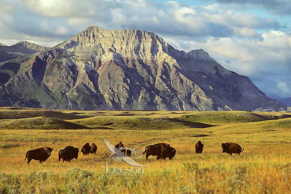 Bison on prairie on east side of Waterton Lakes N.P., Alberta.  July.