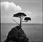 A pine tree on the rock in the ocean, Sea of Japan, in Sado Island.