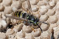 Gemeine Wespe, Gewöhnliche Wespe, Nest, Wespennest, Vespula vulgaris, Paravespula vulgaris, common wasp, yellowjacket, wasps' nest, vespiary