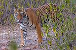 Tiger Ranthambore National Park, India