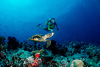 Hawksbill turtle and scuba diver, Eretmochelys imbricata, Maldives Islands, Indian ocean, Ari Atol, Atoll