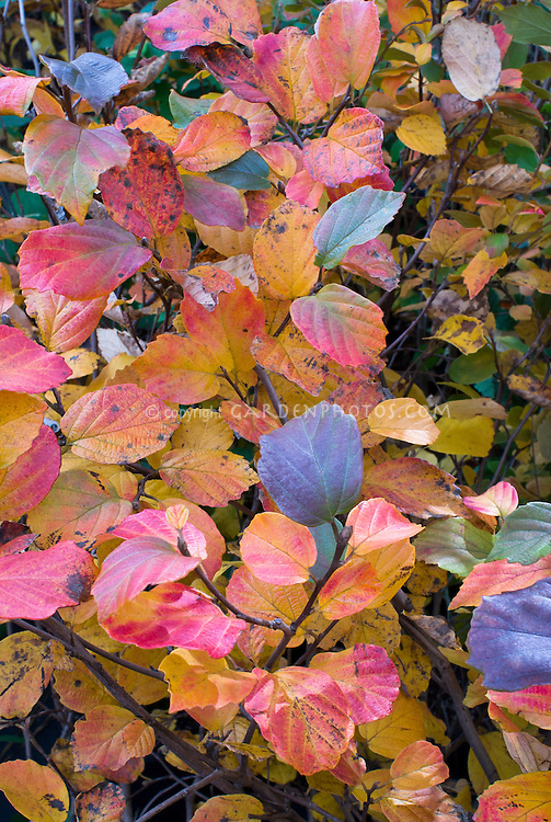 Fothergilla x intermedia 'Red Licorice' fall foliage aka F. major 'Red Licorice'