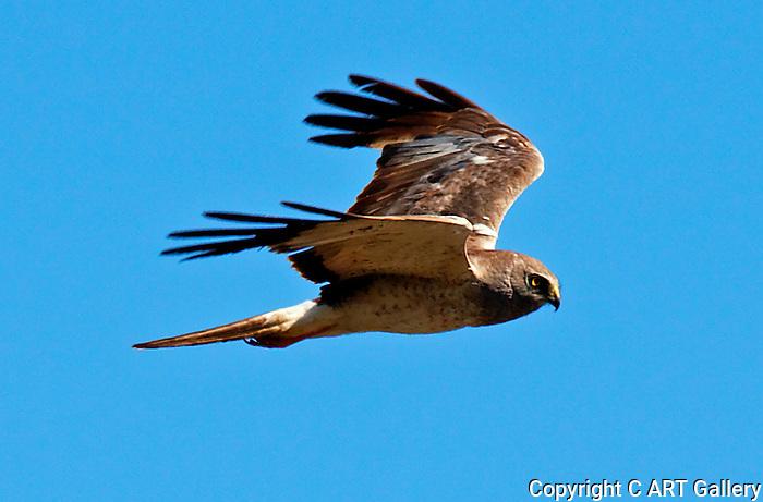 Cooper's Hawk 1, Crystal Cove, CA