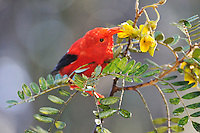 One 'I'iwi bird extracting nectar from yellow tree flowers in Maui, Hawaii Islands, Hawaii, USA.