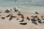 Harbor seals lay on the children's pool beach in La Jolla, California