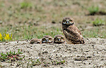 """A quartet of young burrowing owlets stare directly at a photographer in the Grassland National Park, Canada.<br /> <br /> The inquisitive birds were captured by photographer Todd Mintz, 53, from Regina, Canada.<br /> <br /> Todd said, """"The owlets use several burrows dug by black tailed prairie dogs as they get older and bigger, before migrating south.  The burrows offer them protection from predators.  They are endangered in this part of the world.""""<br /> <br /> Please byline: Todd Mintz/Solent News<br /> <br /> © Todd Mintz/Solent News & Photo Agency<br /> UK +44 (0) 2380 458800"""