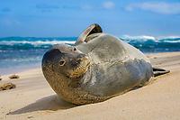Hawaiian monk seal, Neomonachus schauinslandi, critically endangered species, resting on North Shore beach, Oahu, Hawaii, USA, Pacific Ocean