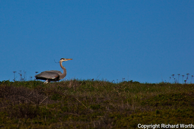 A great blue heron prepares for takeoff at Pomponio State Beach, CA