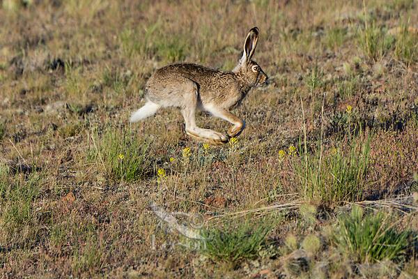 White-tailed jackrabbit (Lepus townsendii).  Montana.  June.